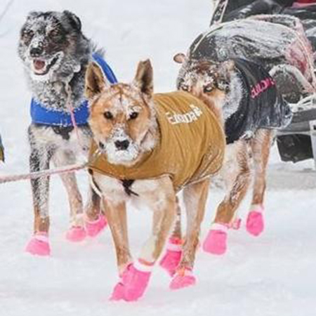 Hi, I'm Charlie.     I'm a team dog and I love to run, eat, howl at the moon, run, eat, run!   My sister Sparkle & I are tall, golden and hard working huskies. We are rescue dogs and we were not expected to make race team status  years ago...but you wouldn't know it..    I've finished the Yukon Quest, Chatanika 200, Gin Gin 200 & several others!   See you down the trail! Xx Charlie