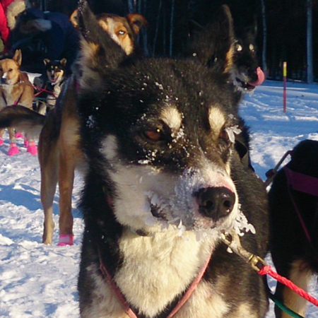 My name is Ruby!     Named after the checkpoint on the Iditarod trail.   I am 3 years old, born & raised at Crazy Dog Kennels. I'm a leader and I live to run with my pack! Woof!