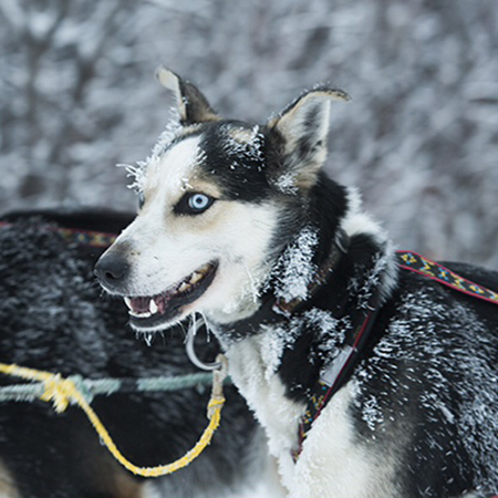 Hi,   I'm Lightning!     I'm littermate to Thunder! Born and raised at Crazy Dog Kennel where life is really good!   I've been working very hard this year in preparation for my 1st Iditarod!   Happy Trails!