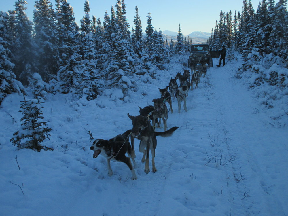 Under low snow conditions, check out the dogs from the comfort of a heated ride!