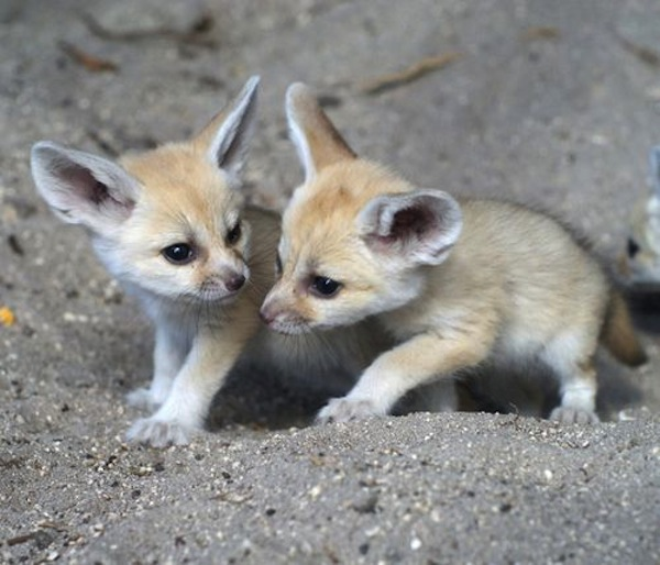 fenneczooborns.com