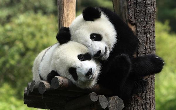 pandasinternational.org