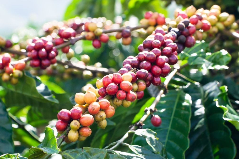 organic coffee beans growing inside the coffee cherry
