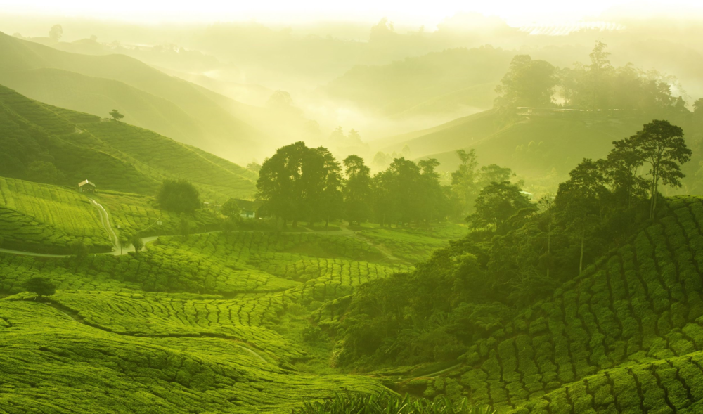 a growing region of tea in china
