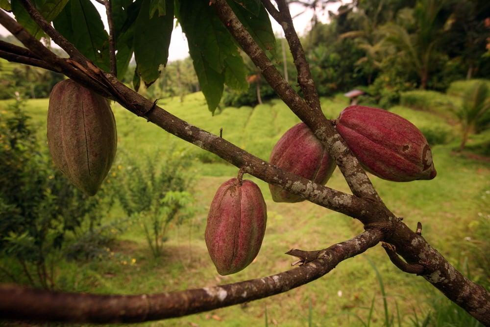 cocoa tree chocolate pod