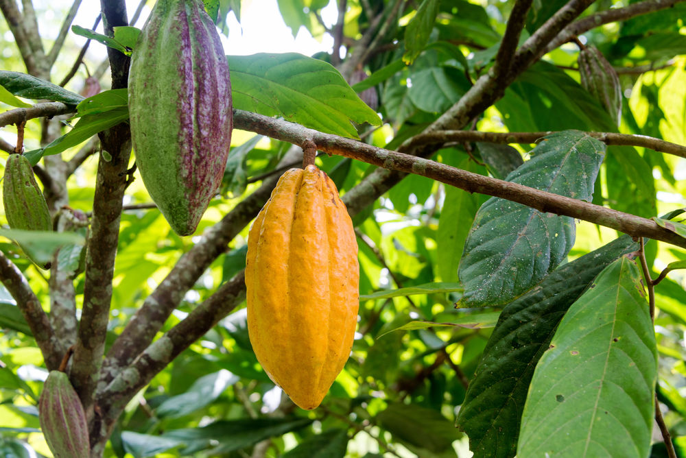 cocoa bean grown in the rainforest