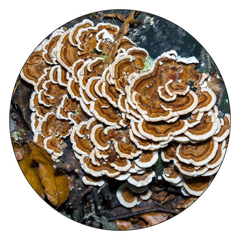 turkery tail mushroom