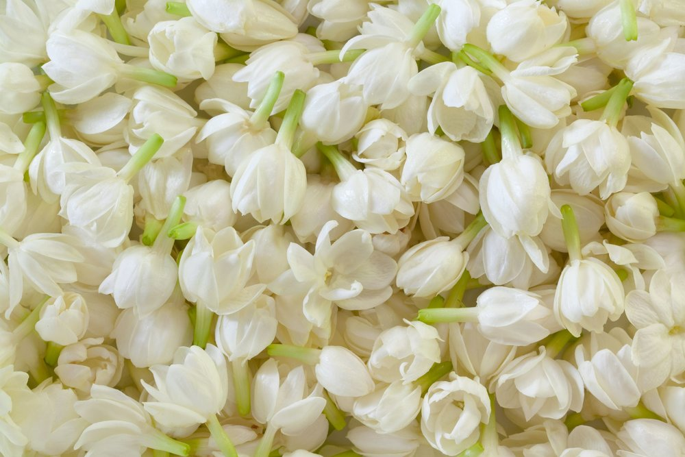 Jasmine Closed Flowers.jpg