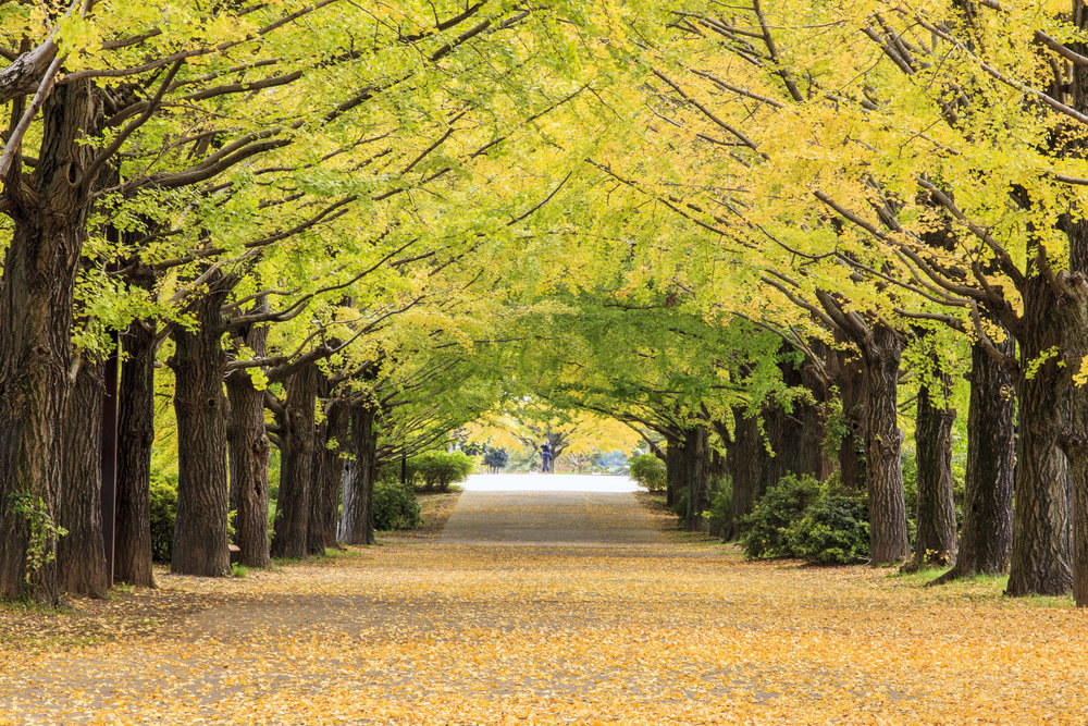 Gingko Sidewalk Tree.jpg