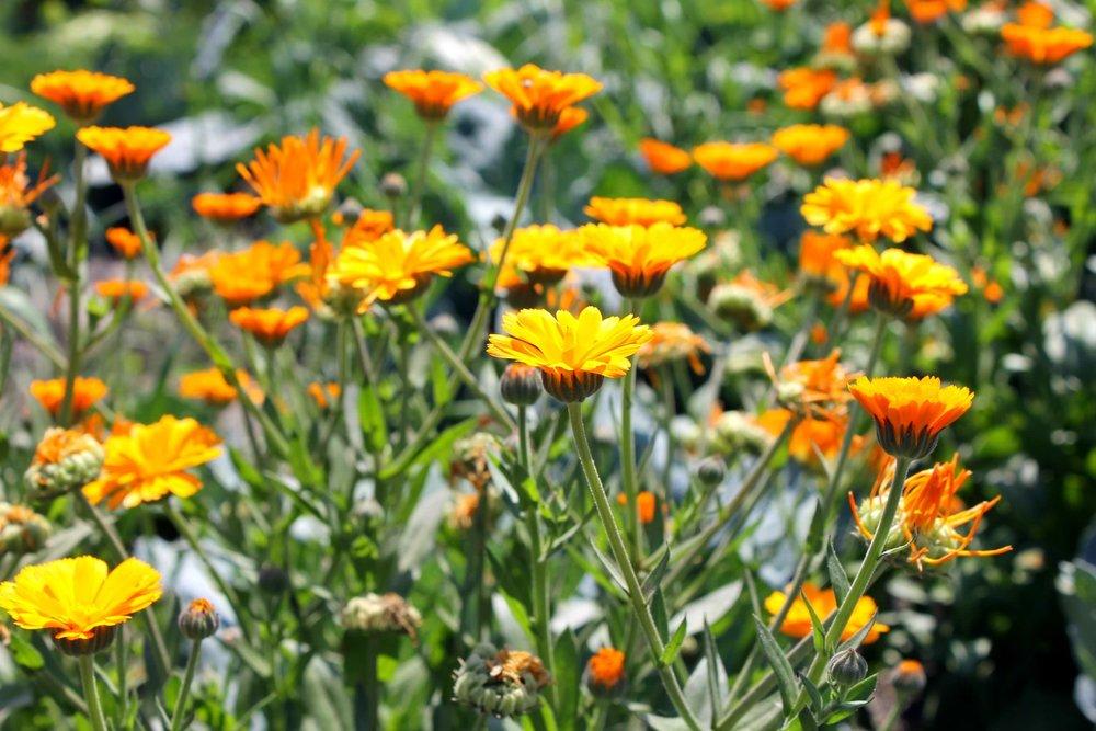 calendula-flowers.jpg