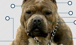 What makes a Pit Bull?