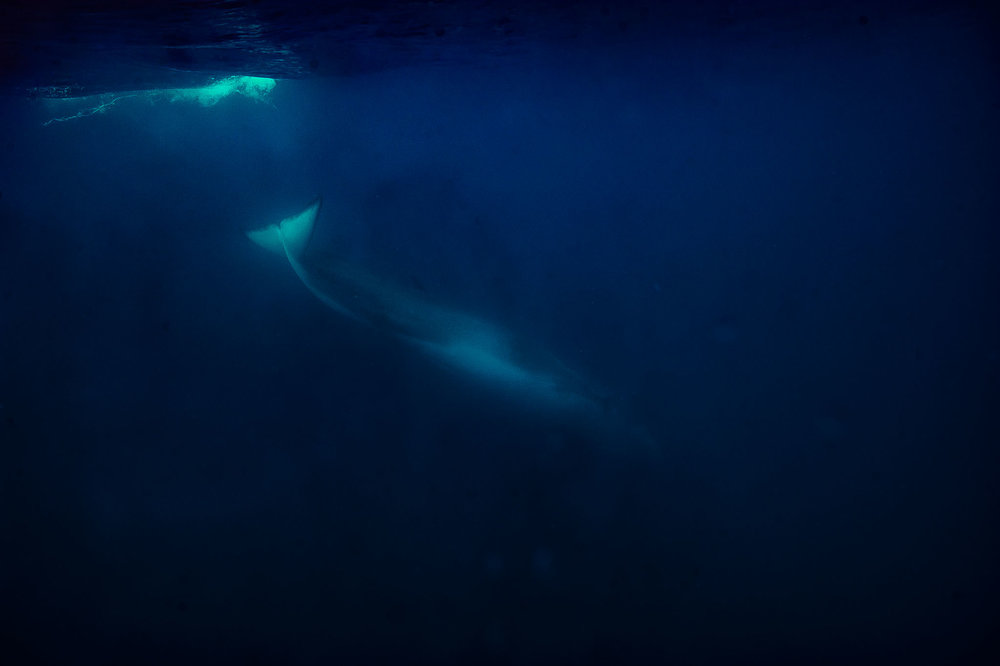 A fIn whale (Balaenoptera physalus) submersing looking for food near Lampedusa, Sicily, Italy. 2017