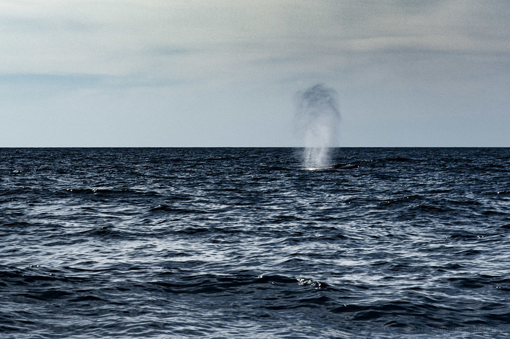 A Fin Whale Blow. (Lampedusa, 2018)