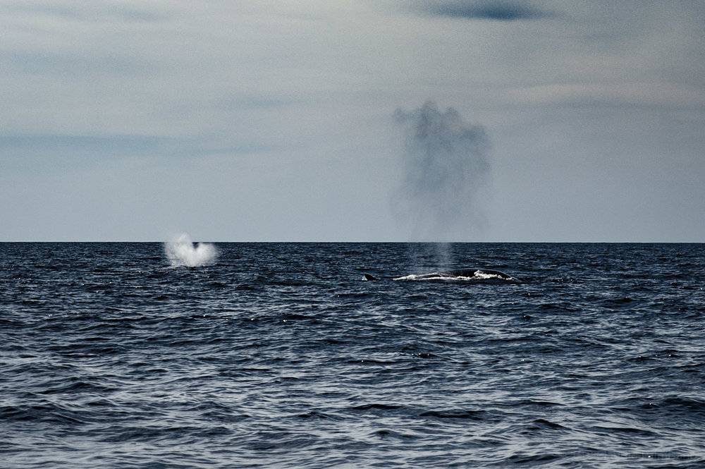 Two Fin Whale Blow. (Lampedusa, 2018)