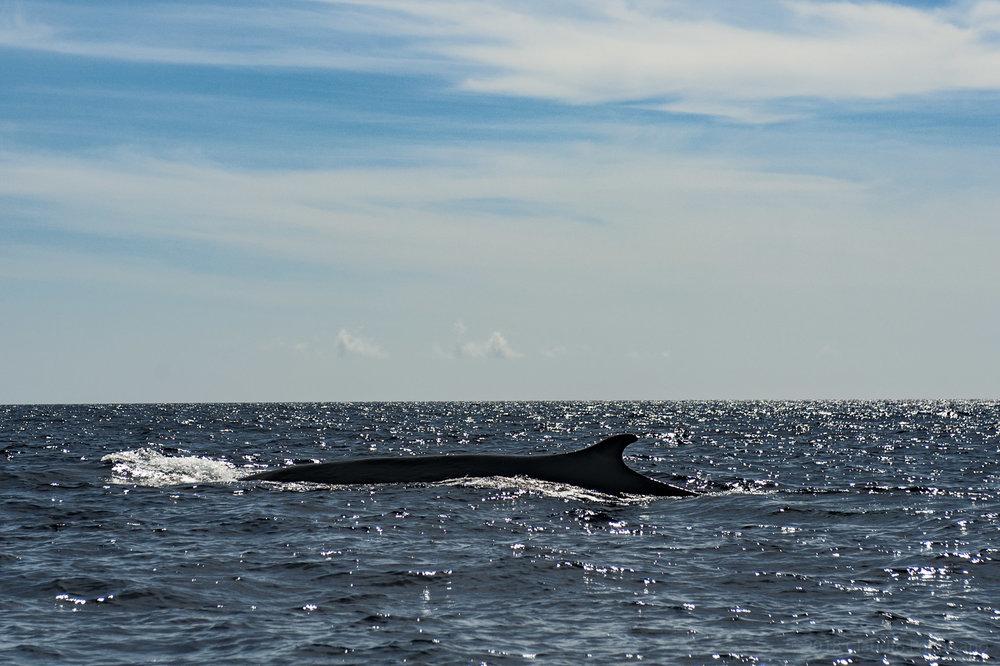 A Fin Whale (Lampedusa, 2018)