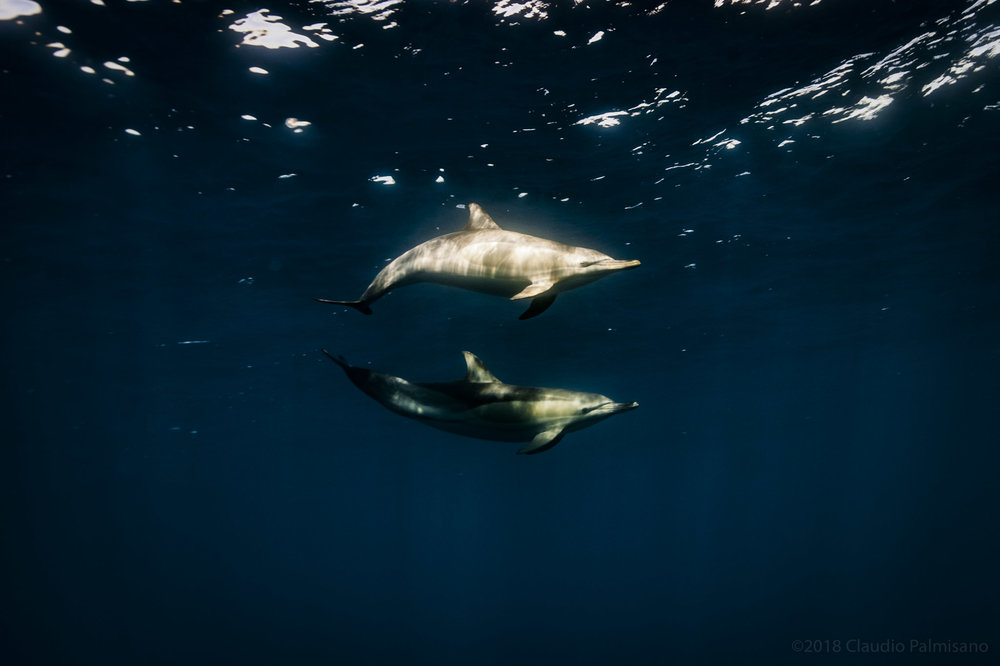 Common Dolphins (Lampedusa 2018)