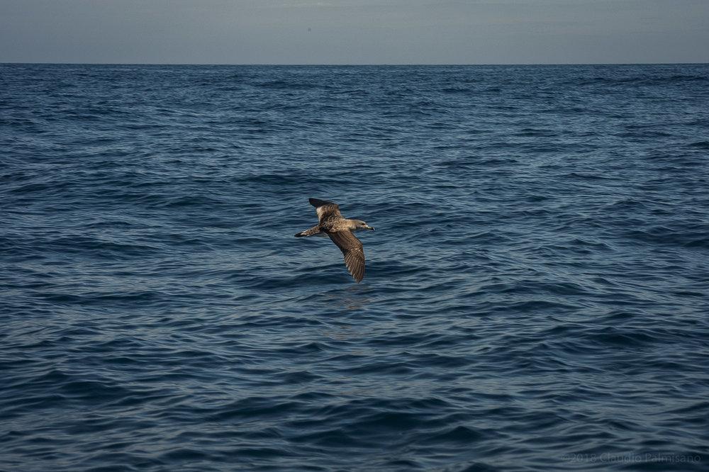 Scopoli's Shearwater (Calonectris diomedea) (Lampedusa 2018)