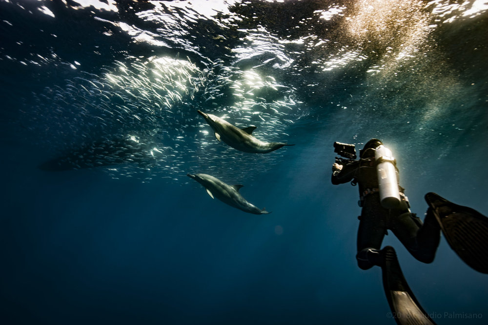 A documentarist while filming Common Dolphins hunting Sardinella Aurita (Lampedusa 2018)