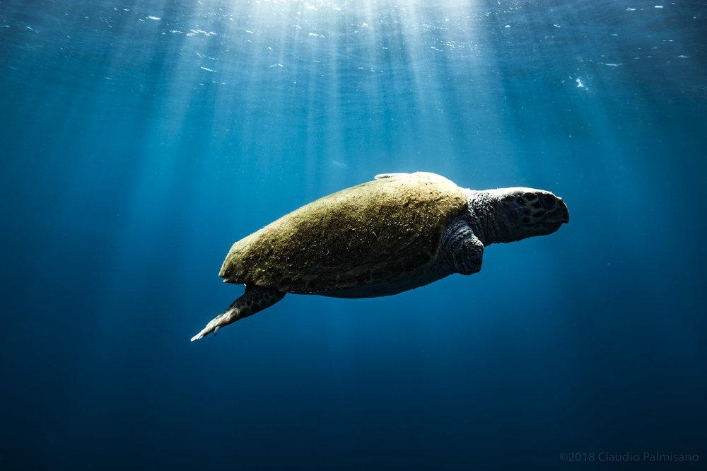 a wounded loggerhead sea turtle (Caretta caretta) (Lampedusa 2018)