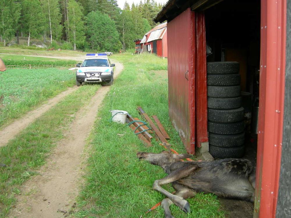 Polisyrket är sådant att man inte riktigt vet vad man ska råka ut för. En självdöd älg utanför Borås kändes som det skulle ta länge till innan man skulle få ett liknande uppdrag...