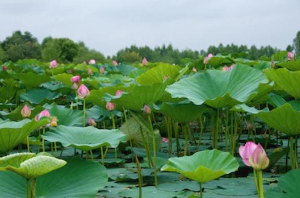 Lac lotus1.jpg