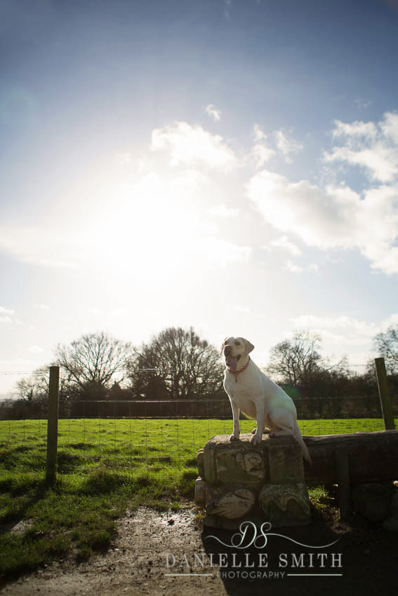 white labrador sitting in park