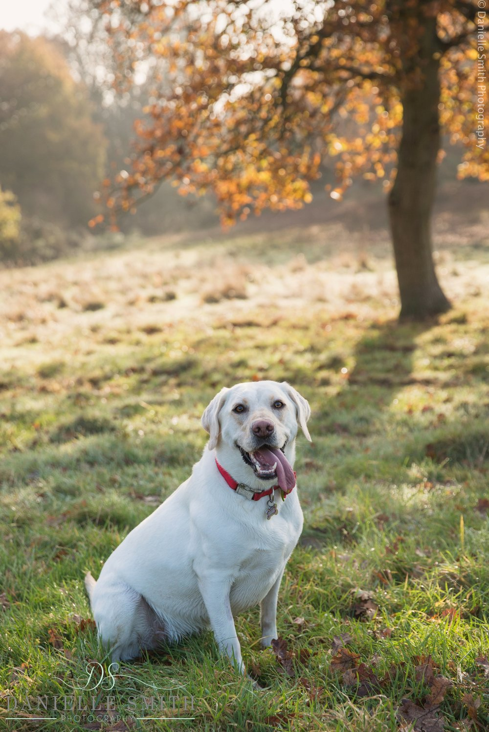 dog with tongue out - dog photographer essex