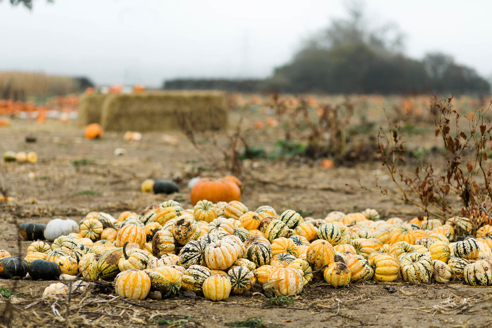 pile of pumpkins at pumpkin patch