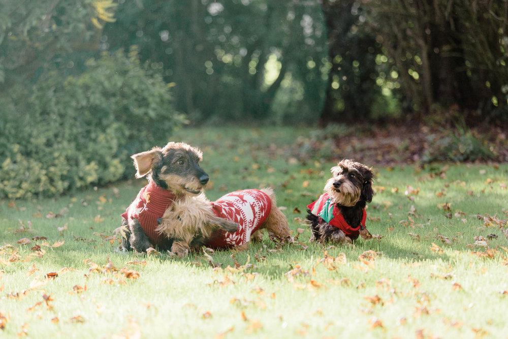 dogs wearing xmas jumpers in garden