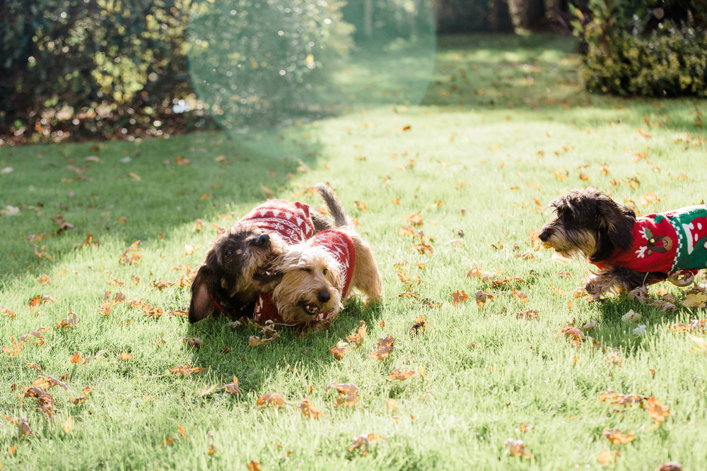 sausage dogs playing with christmas jumpers on - pet photography