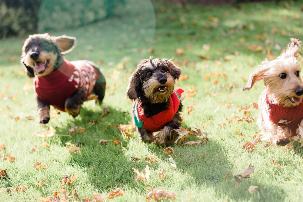 three sausage dogs running - dog photography
