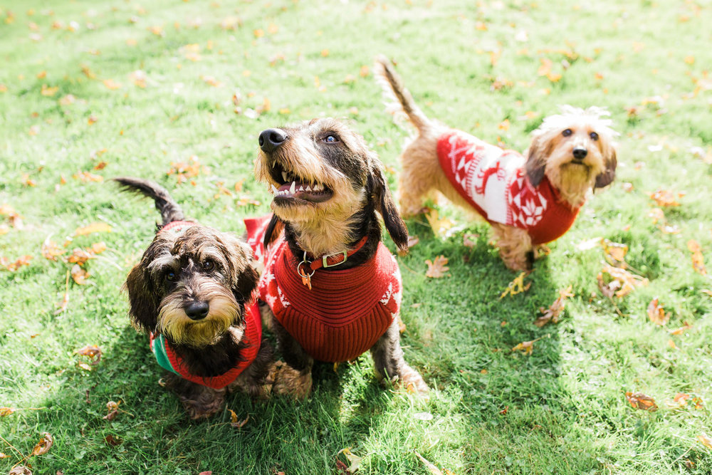 three sausage dogs in christmas jumper photo shoot