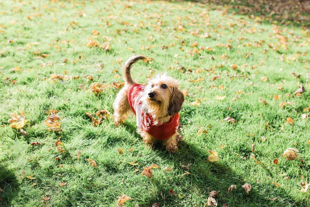 dachshund in xmas jumper