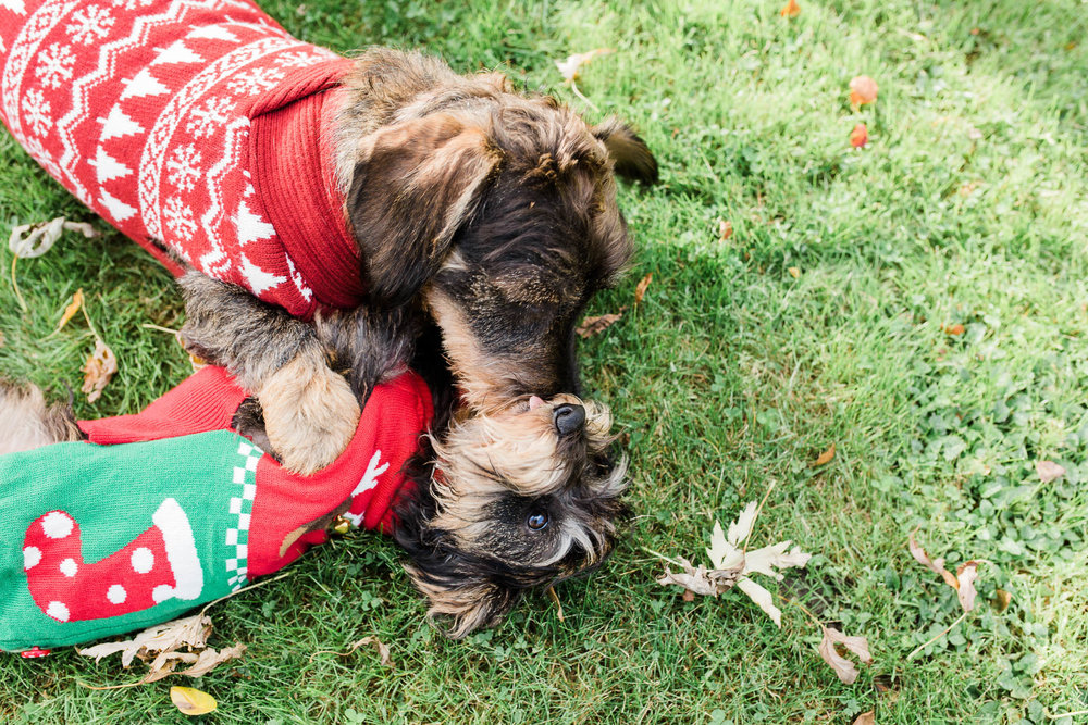 two dachshunds playing with xmas jumpers on