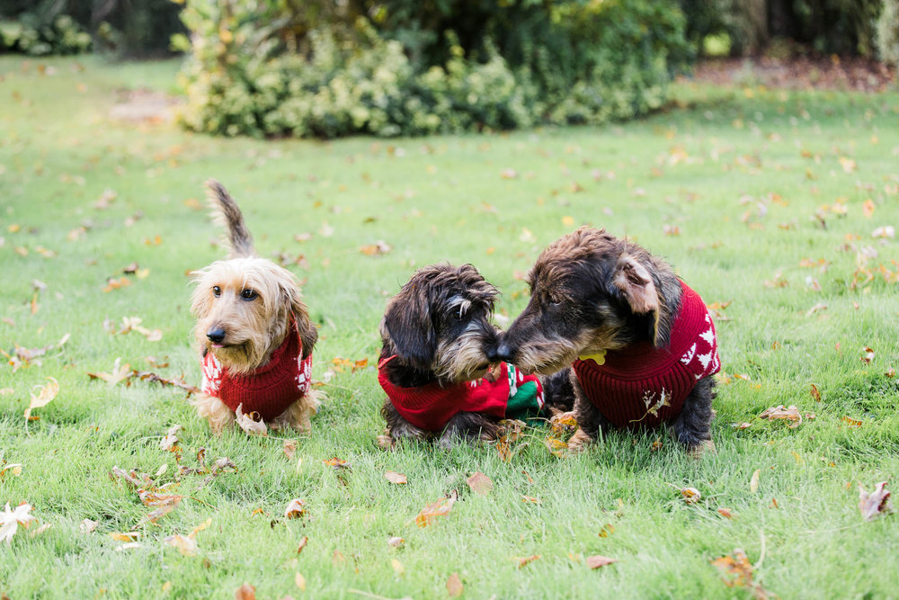 three dogs with christ,as jumpers on - pet photography