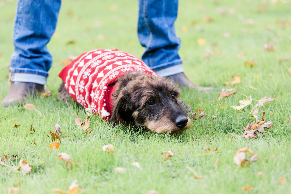 dog laying down in xmas jumper photo shoot