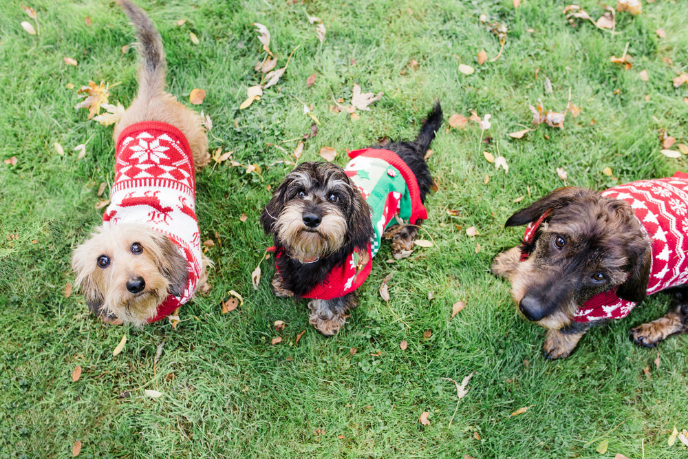 three sausage dogs from above - xmas jumper pet photography