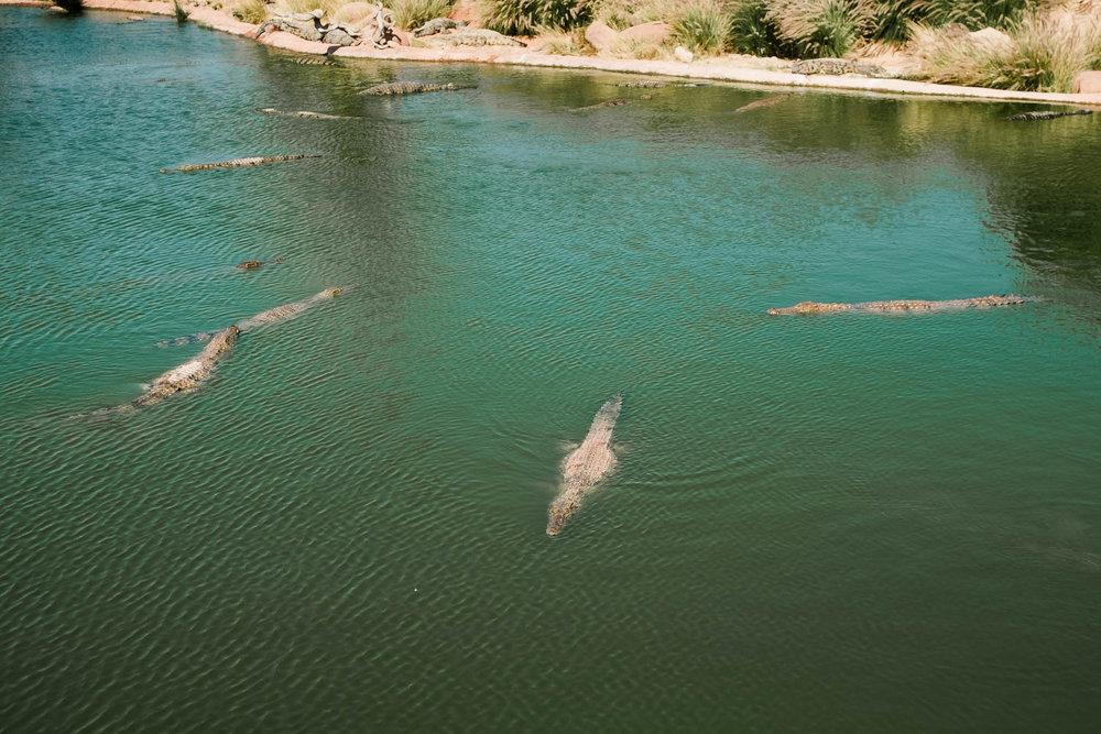 crocodiles swimming in water
