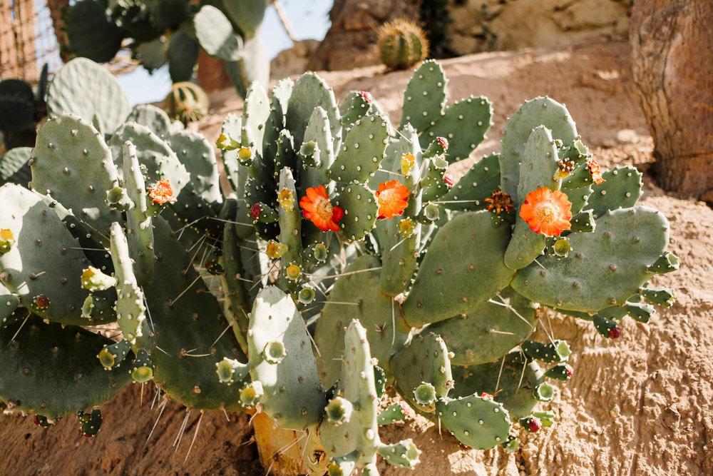 cacti with orange flowers
