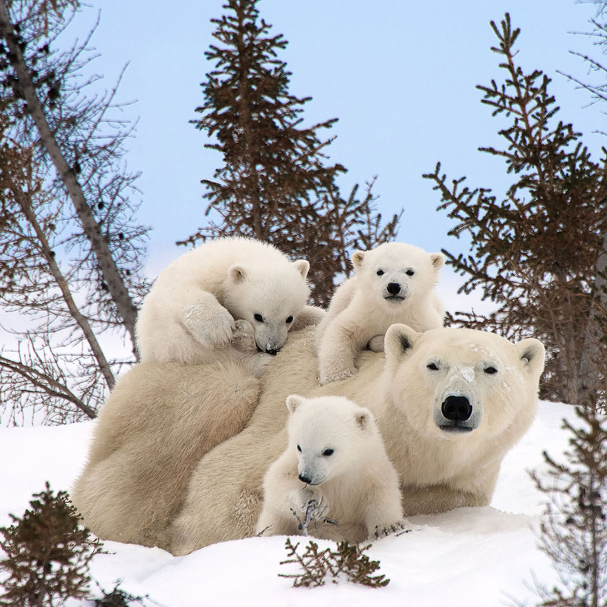 Polar Bear Family.jpg
