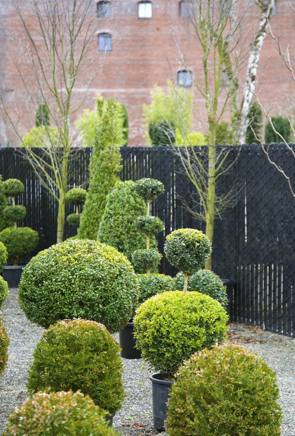 Cone and Globe Shaped Boxwoods