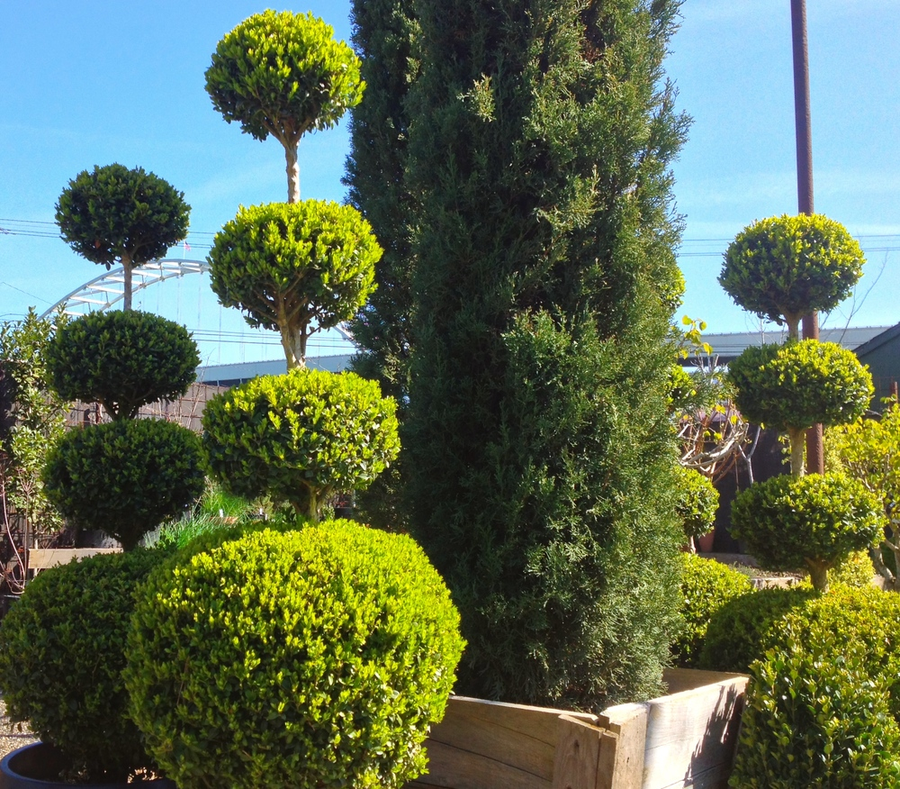 Italian Cypress and Topiary Boxwoods