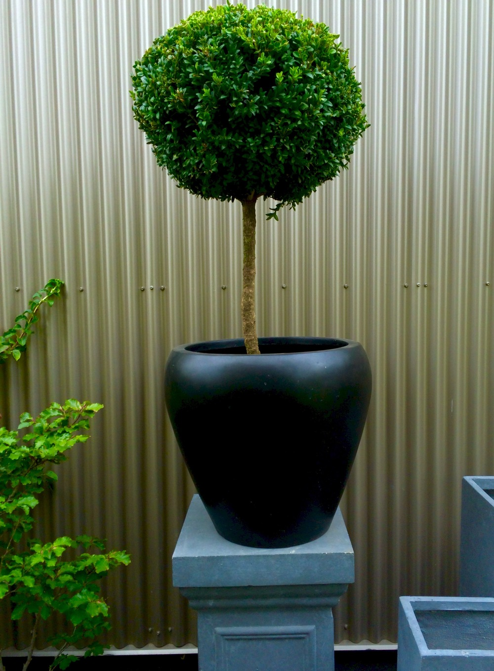 Standard Topiary Boxwood and Container