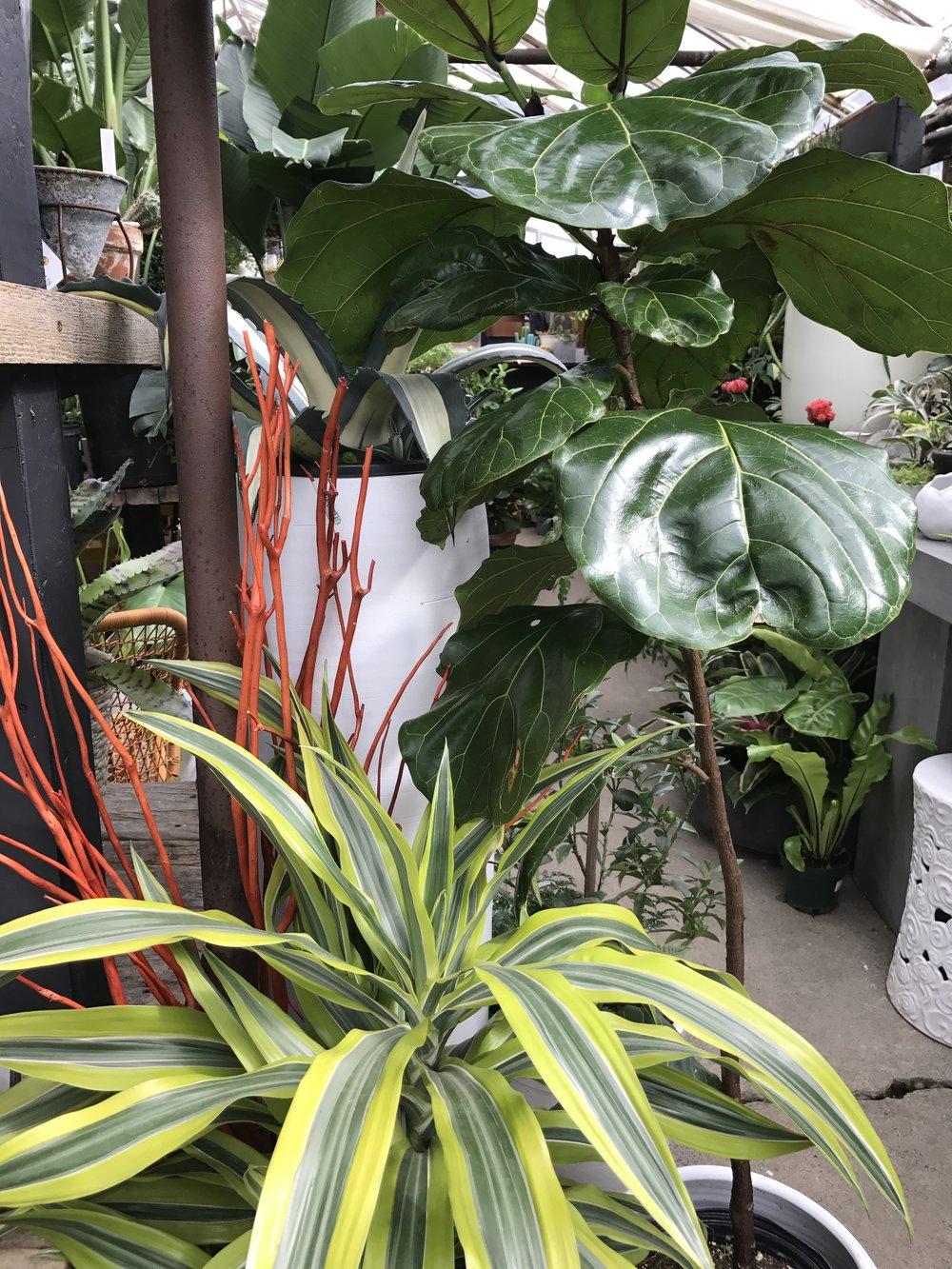 Fiddle Leaf Fig & Tropical Houseplants