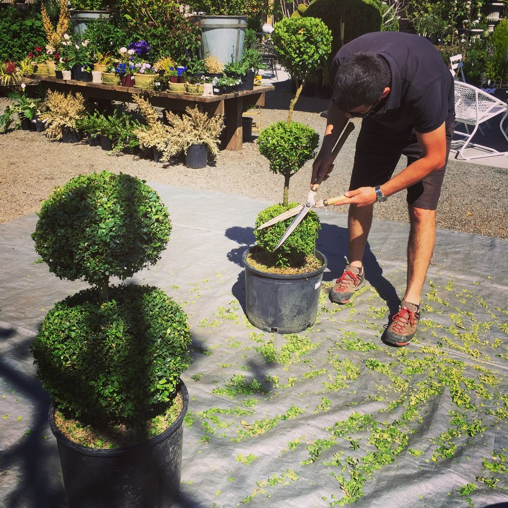 Pete Lynn giving the Buxus Topiaries a trim | April 2016