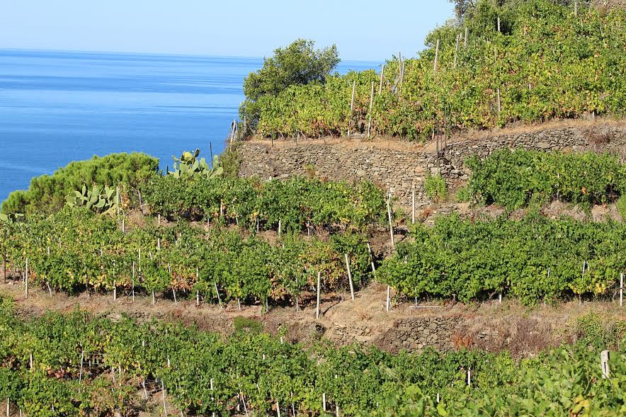 vineyards on cinque terre hike