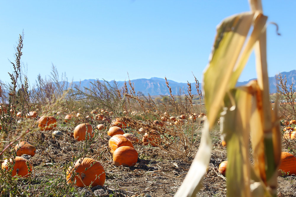 pumpkin-patch-denver.jpg