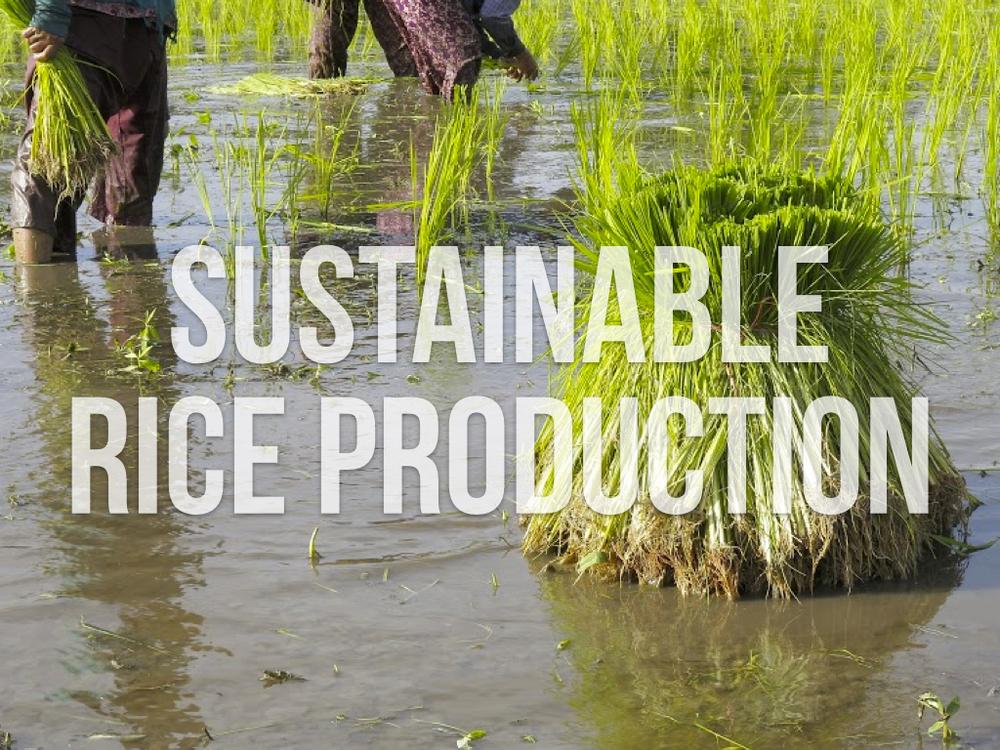 sustainablericeproduction.001.jpg