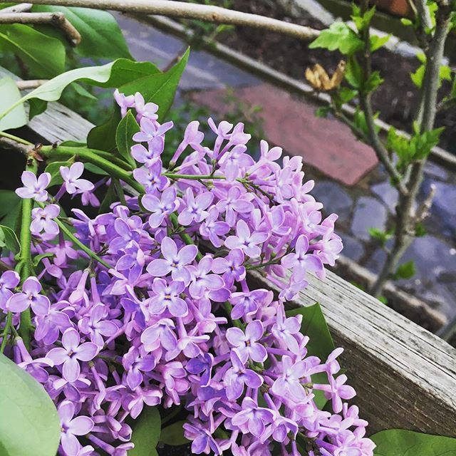 Getting a little #backyardtherapy making a lilac bouquet. Smells beautiful 🌸💐🌺
