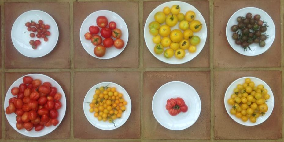 From top left, clockwise: Supersweet (cherry), Moneymaker, Golden Sunrise, Black Cherry, Sun Baby (yellow cherry), Big Boy, Tumbling Tom Yellow (cherry), Roma (plum)